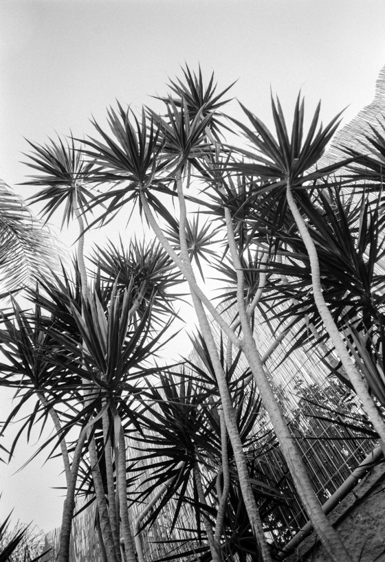 Trees, Light, Film. Olympus XA3 35mm Ilford Delta 100, Pyrocat HD 1:1:100 20°C 9 min. © Michael Alvarez-Pereyre, 2015.